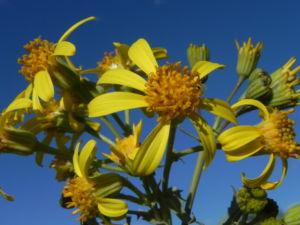 Showy Groundsel Bluete gelb Senecio magnificus 18