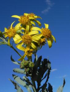 Showy Groundsel Bluete gelb Senecio magnificus 19