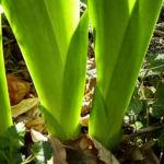 Bild: Sibirische Schwertlilie Blattschaft grün Iris sibirica