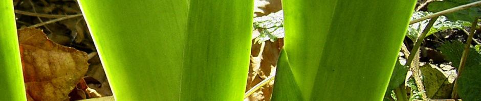 Anklicken um das ganze Bild zu sehen Sibirische Schwertlilie Blattschaft grün Iris sibirica