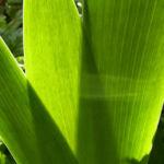Sibirische Schwertlilie Blattschaft Iris sibirica 02