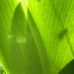 Sibirische Schwertlilie Blattschaft Iris sibirica 03