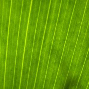 Sibirische Schwertlilie Blattschaft Iris sibirica 05