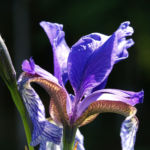Sibirische Schwertlilie Bluete blau Iris sibirica 01