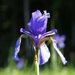 Sibirische Schwertlilie Bluete blau Iris sibirica 04