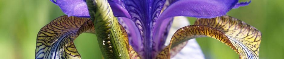 sibirische-schwertlilie-bluete-blau-iris-sibirica