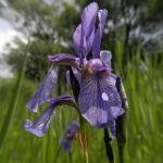 Sibirische Schwertlilie Bluete blau Iris sibirica 30