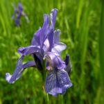 Sibirische Schwertlilie Bluete blau Iris sibirica 31