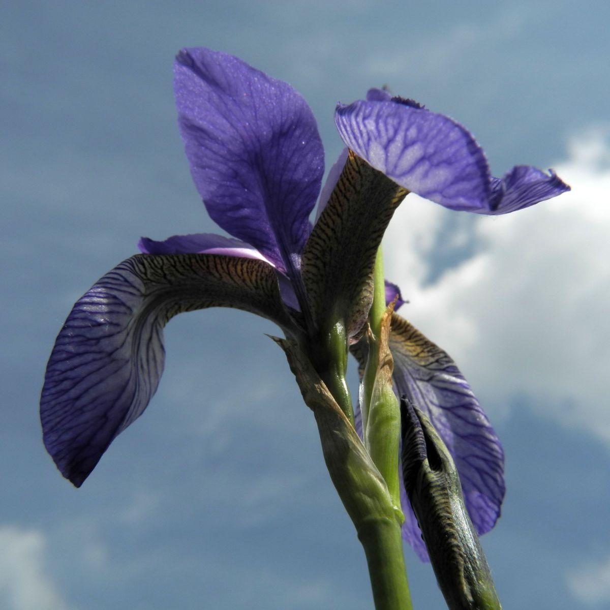 Sibirische Schwertlilie Bluete blau Iris sibirica