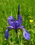 Sibirische Schwertlilie Bluete blau Iris sibirica 36