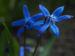 Zurück zum kompletten Bilderset Sibirischer Blaustern Nickender Blaustern Blüte blau Scilla siberica