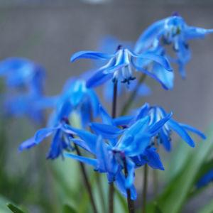 Sibirischer Blaustern Nickender Blaustern Bluete blau Scilla siberica 11