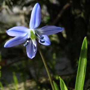 Sibirischer Blaustern Scilla siberica 06