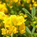 Bild: Sichelklee Blüte gelb Medicago falcata