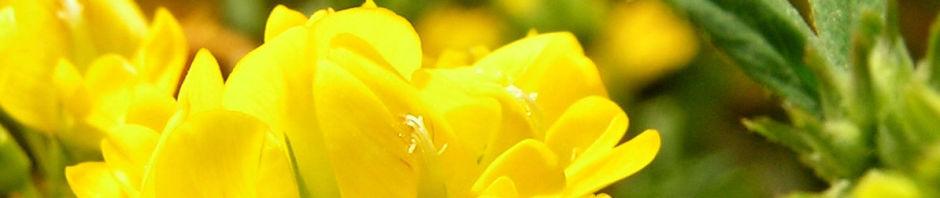 Anklicken um das ganze Bild zu sehen Sichelklee Blüte gelb Medicago falcata