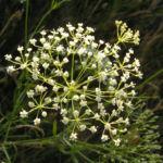 Sichelmoehre Bluetendolde weiss Falcaria vulgaris 01