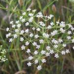 Sichelmoehre Bluetendolde weiss Falcaria vulgaris 04