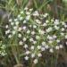 Zurück zum kompletten Bilderset Sichelmöhre Blütendolde weiß - Falcaria vulgaris