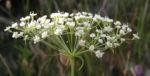 Sichelmoehre Bluetendolde weiss Falcaria vulgaris 05