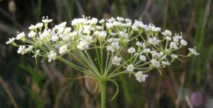Image: Sichelmoehre Bluetendolde weiss Falcaria vulgaris
