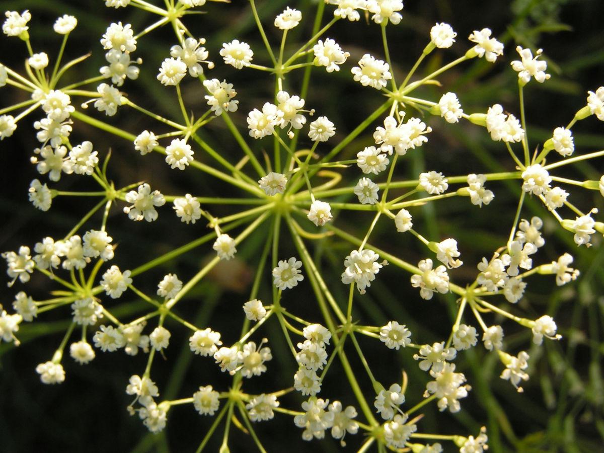 Sichelmoehre Bluetendolde weiss Falcaria vulgaris