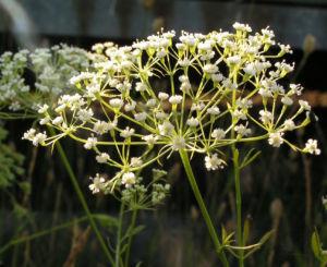 Bild: Sichelmoehre Bluetendolde weiss Falcaria vulgaris