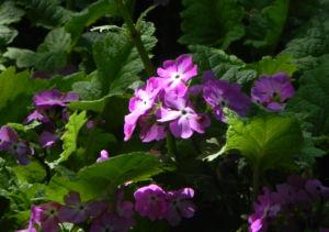 Siebolds Schluesselblume Bluete lila Primula sieboldii 01