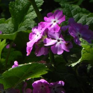 Siebolds Schluesselblume Bluete lila Primula sieboldii 03