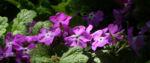 Bild: Siebolds Schlüsselblume Blüte lila Primula sieboldii