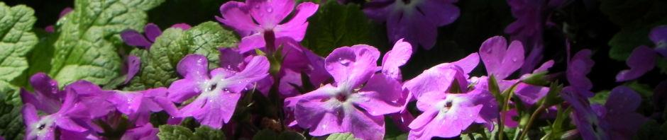 Anklicken um das ganze Bild zu sehen Siebolds Schlüsselblume Blüte lila Primula sieboldii