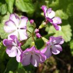 Siebolds Schluesselblume Bluete weiss lila Primula sieboldii 03