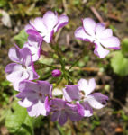 Siebolds Schluesselblume Bluete weiss lila Primula sieboldii 04
