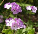 Siebolds Schluesselblume Bluete weiss lila Primula sieboldii 06