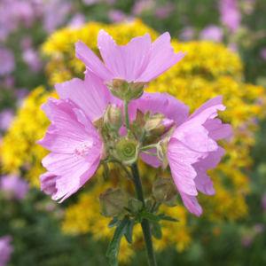 Siegmarskraut Rosen Malve Bluete rosa Malva alcea 01