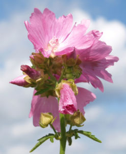 Siegmarskraut Rosen Malve Bluete rosa Malva alcea 02