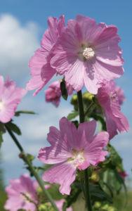 Siegmarskraut Rosen Malve Bluete rosa Malva alcea 04