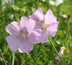 Siegmarskraut Rosen Malve Bluete rosa Malva alcea 06