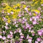 Siegmarskraut Rosen Malve Bluete rosa Malva alcea 07