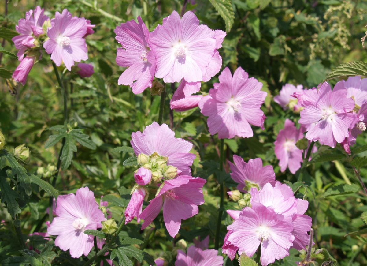 Siegmarskraut Rosen Malve Bluete rosa Malva alcea