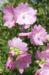 Zurück zum kompletten Bilderset Rosen-Malve Blüte rosa Malva alcea