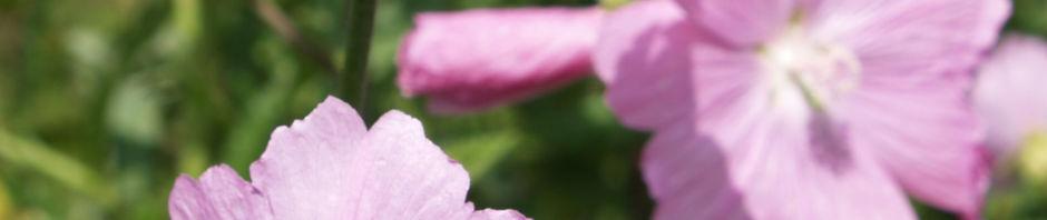 rosen-malve-bluete-rosa-malva-alcea
