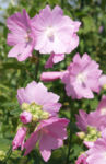 Bild: Rosen-Malve Blüte rosa Malva alcea