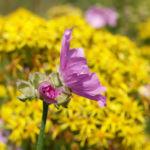 Siegmarskraut Rosen Malve Bluete rosa Malva alcea 12