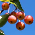 Sikkim Apfel Baum Frucht rot Malus sikkimemsis 01