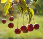Sikkim Apfel Baum Frucht rot Malus sikkimemsis 02