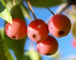 Sikkim Apfel Baum Frucht rot Malus sikkimemsis 04