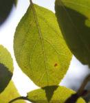 Sikkim Apfel Baum Frucht rot Malus sikkimemsis 05
