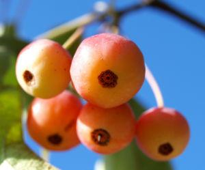 Bild: Sikkim Apfel Baum Frucht rot Malus sikkimemsis