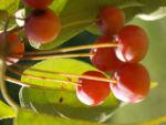 Sikkim Apfel Baum Frucht rot Malus sikkimemsis 07