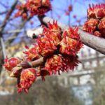 Silber Ahorn Knospe Acer saccharinum 01